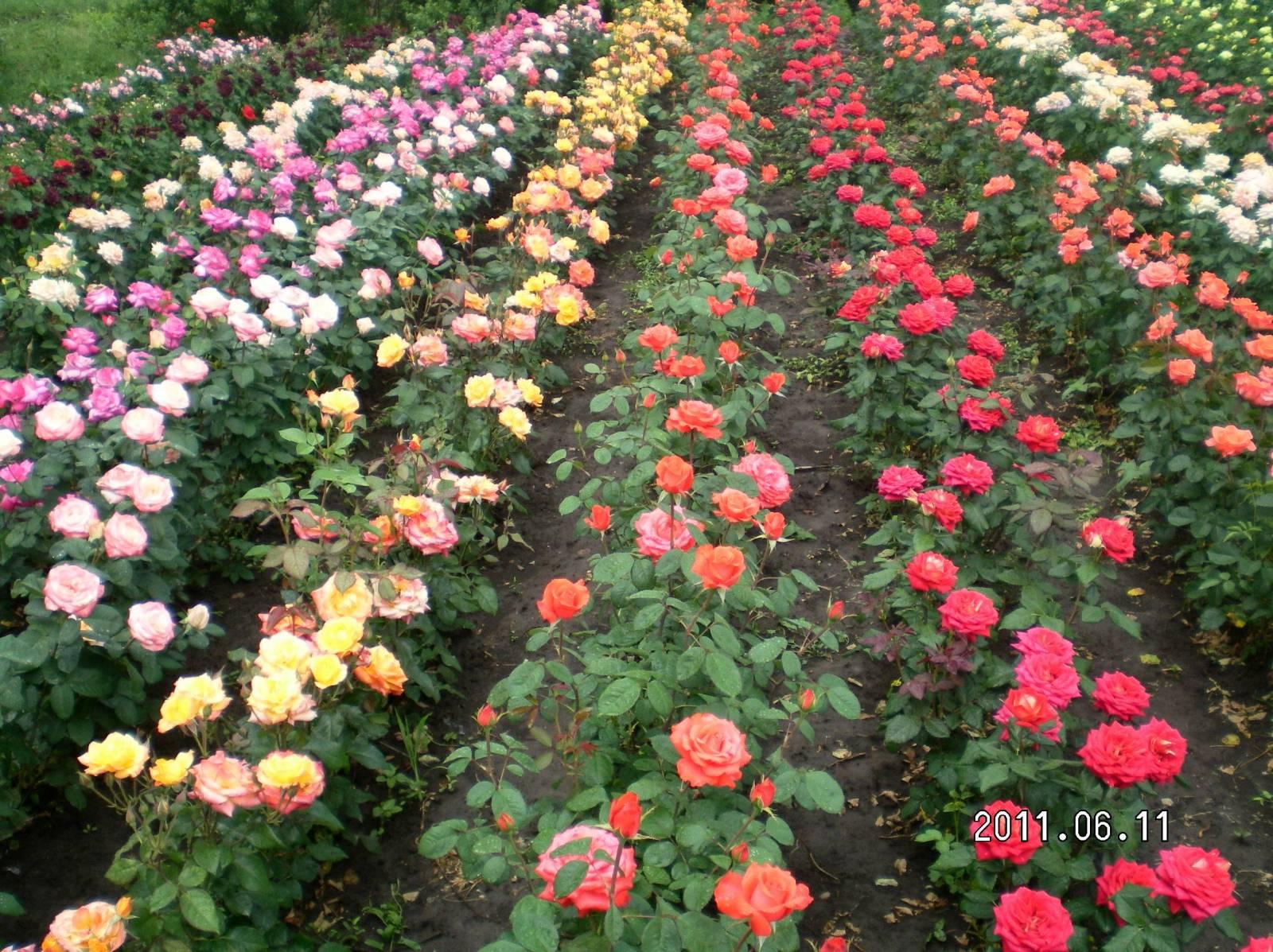 Розы купить коллекции